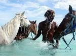 Как заставить лошадь пить?